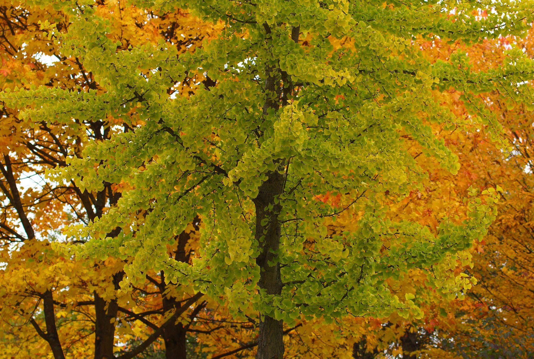 the Ginkgo tree by kerbla edzerdla on 500px