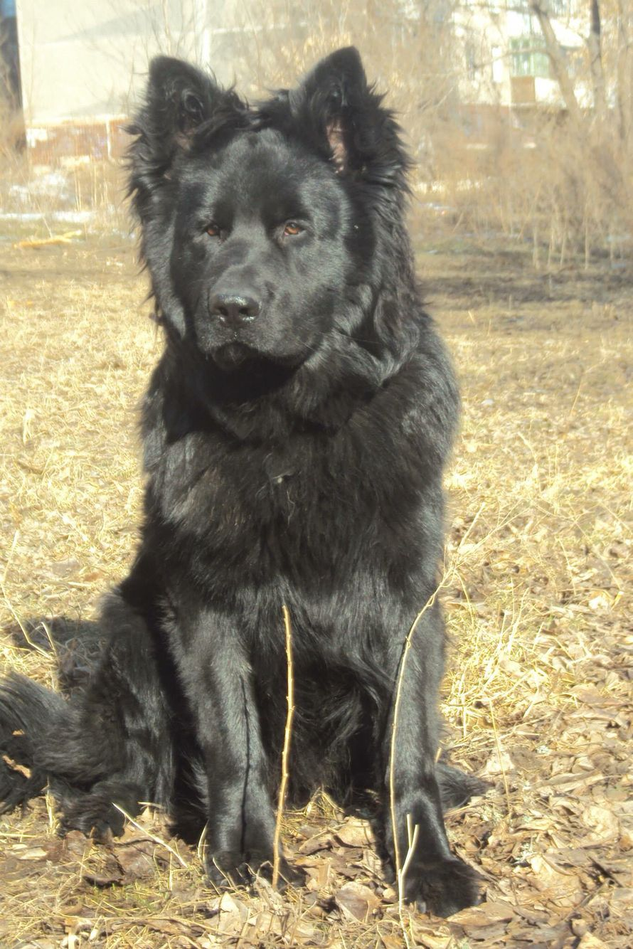 Long Coat Ddr Black Gsd Yes It Looks Like A Chow No It Is Not