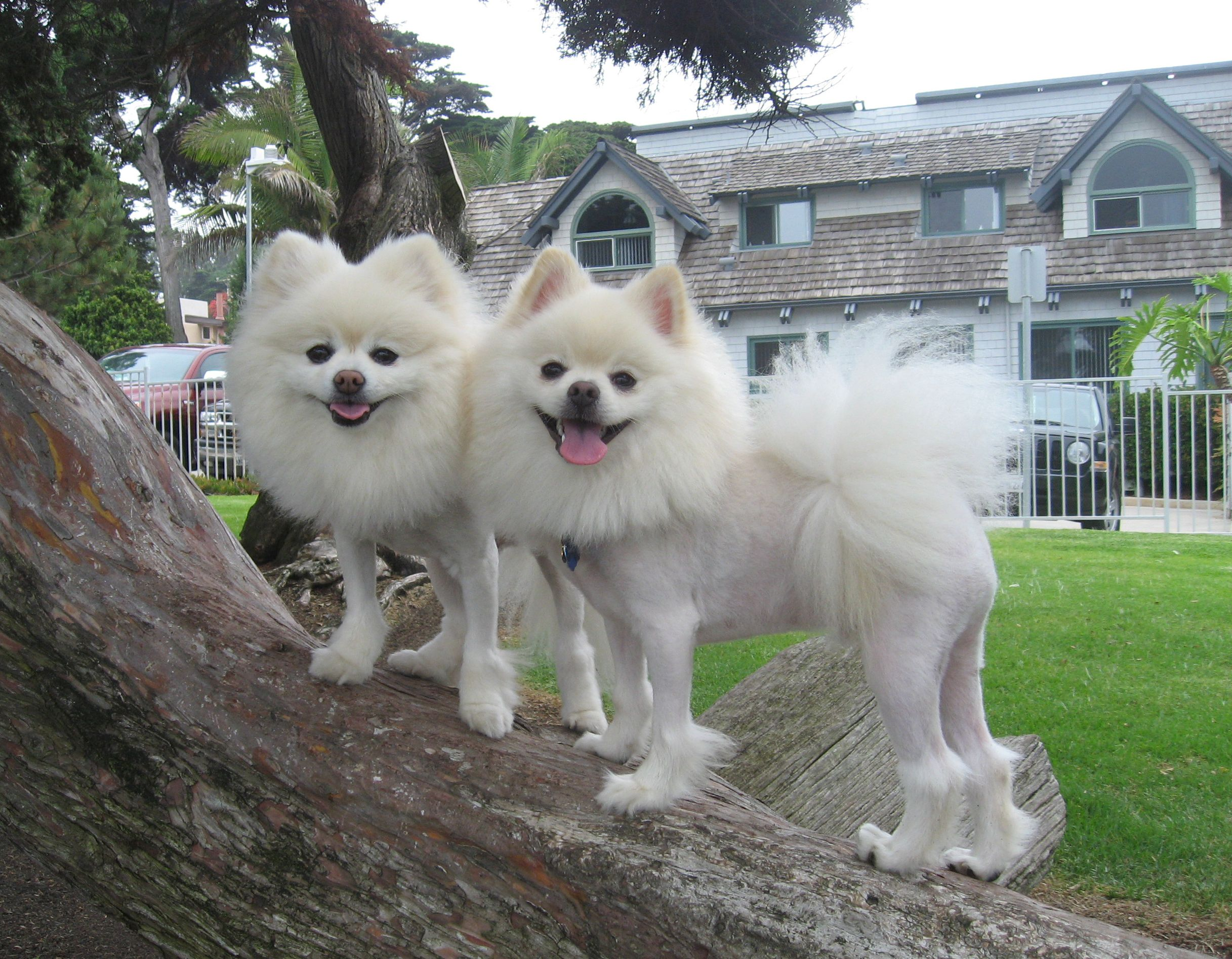 Pomeranian Hairstyles Pomeranians Pinterest Teacup Schnauzer