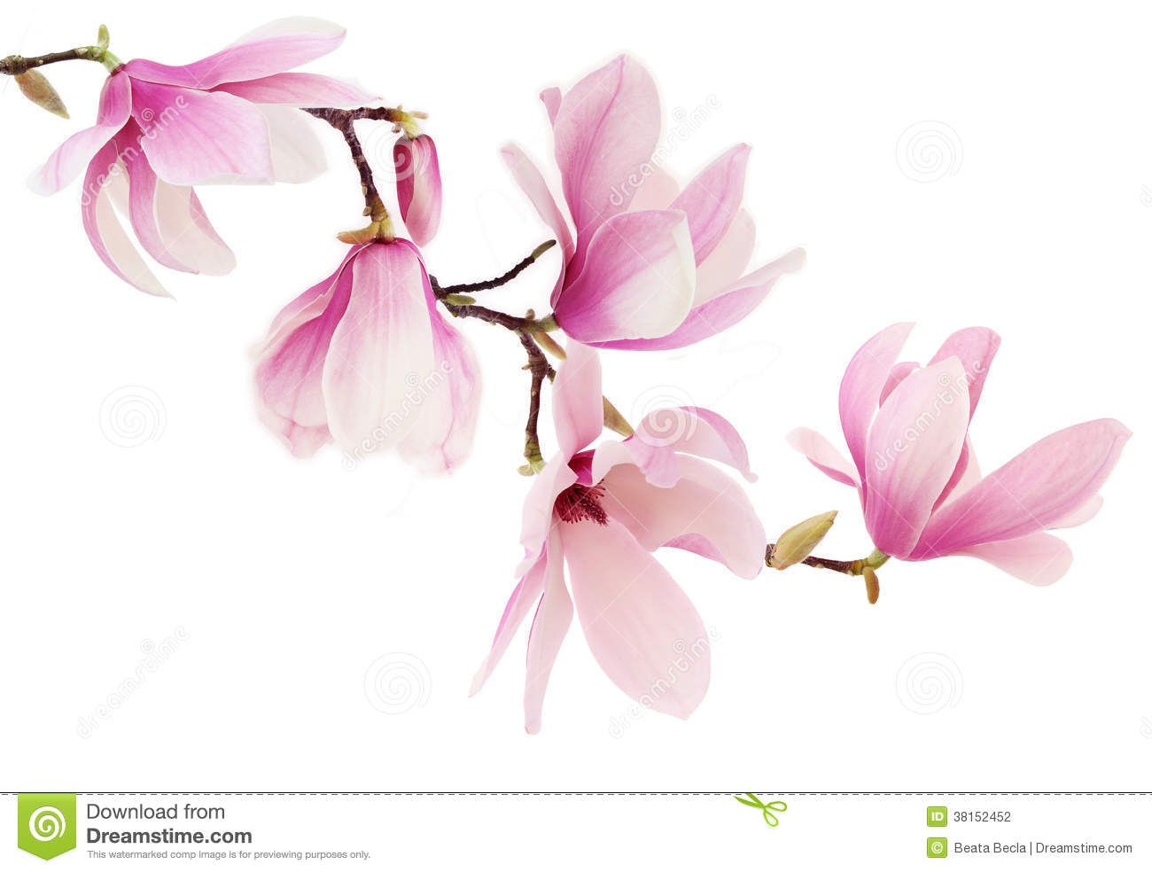 Pink Spring Magnolia Flowers Branch Stock Photo Image Of Blossoms Floral 38152452 Magnolia Flower Flower Branch Magnolia Tattoo