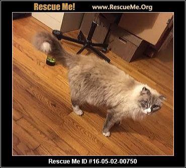 California Norwegian Forest Cat Rescue Adoptions Rescueme Org Norwegian Forest Cat Cat Rescue Norwegian Forest