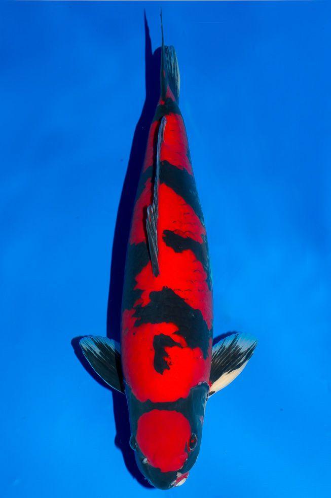 Kokugyo osu 60bu garten pinterest koi fische und for Japanische teichfische