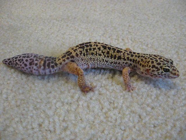 5 Great Beginner Pet Lizards | Exotics & Pocket Pets | Pet