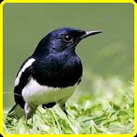 Berternak Burung Berkicau Ujebirdfarmmj981 Cara Membedakan Kacer Jantan Dan Betina Burung Seni Suara Hewan