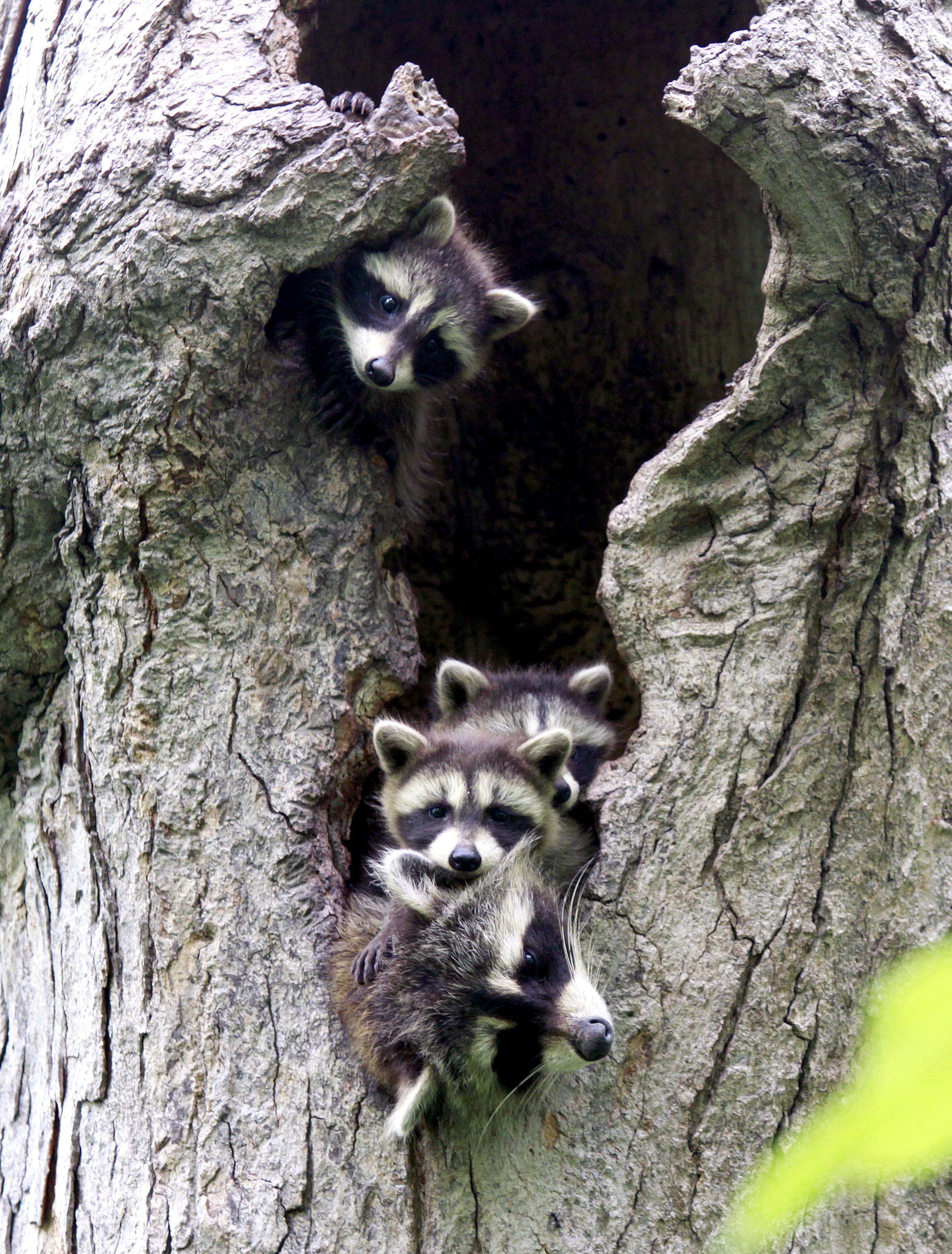 Raccoons in tree den