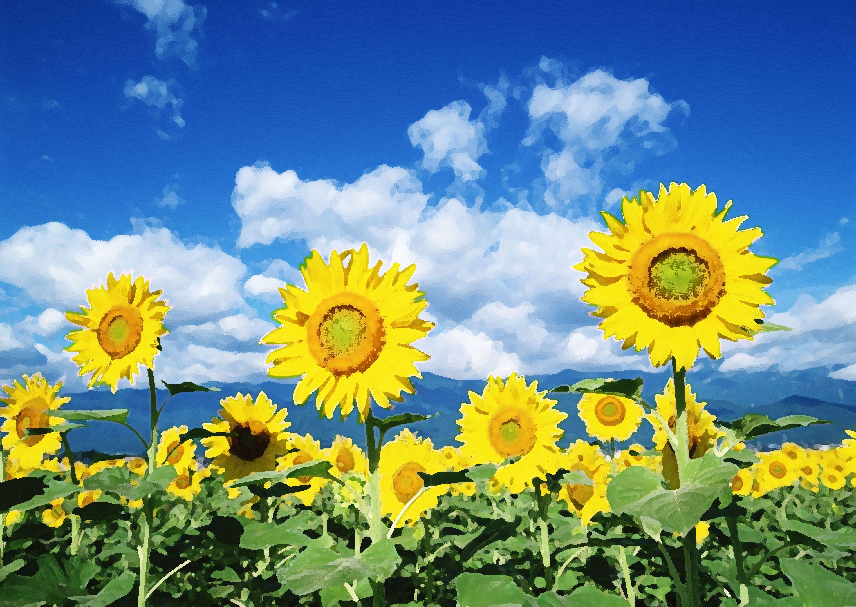 花の背景・壁紙イラスト,ひまわり畑 ひまわり 夏 summer sunflower