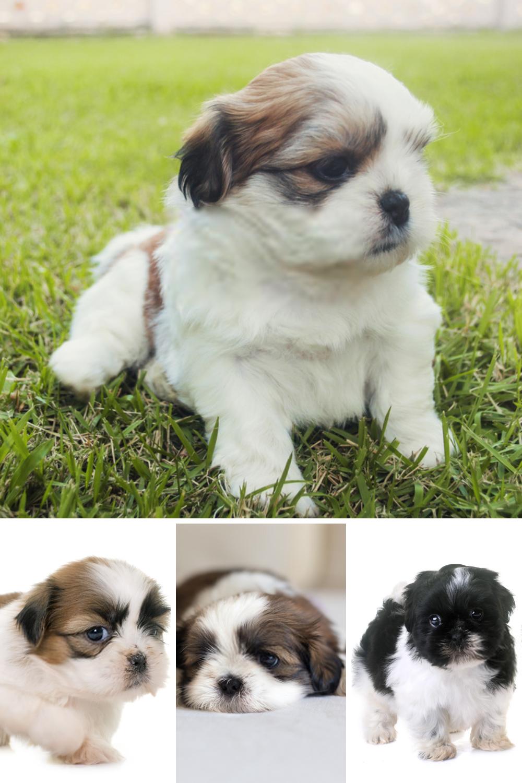 Shih Tzu Puppy Shih Tzu Dog Shih Tzu Dog Pet Dogs Photos Shih Tzu Puppy