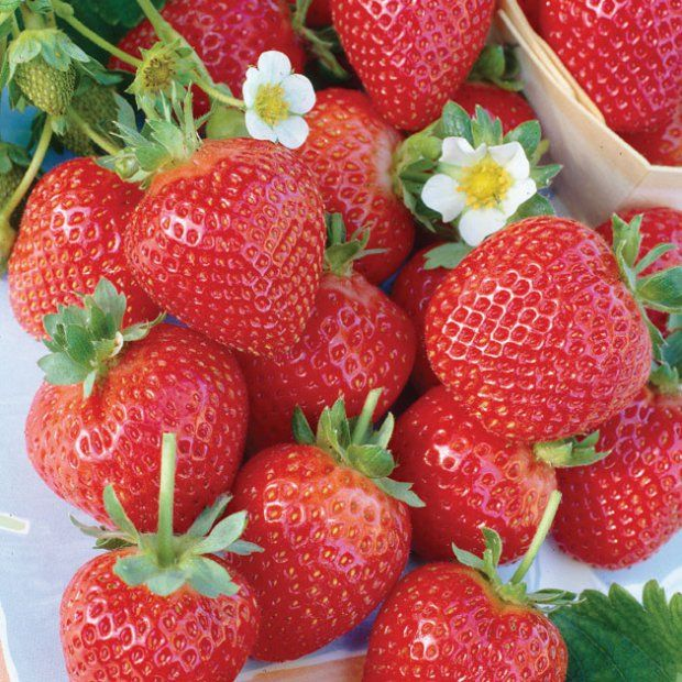 Plant Profile Albion Strawberries Growing Strawberries Everbearing Strawberries Strawberry Plants