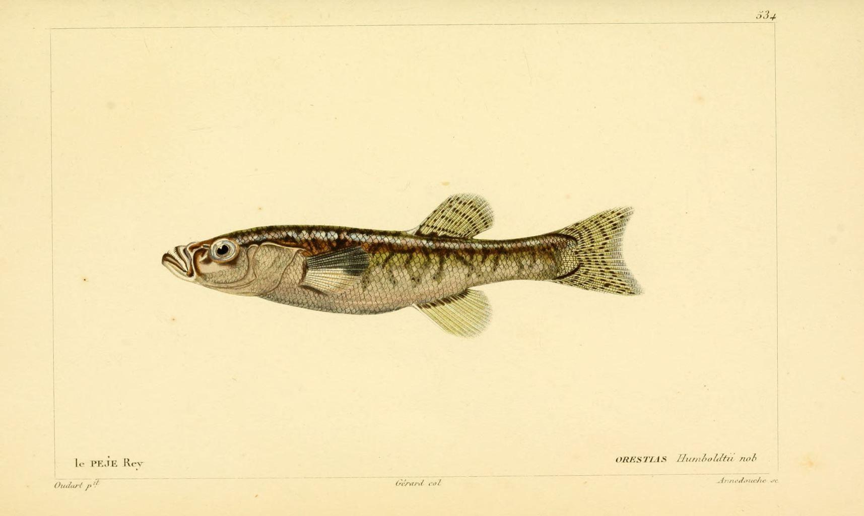 img/dessins-gravures de poissons/dessin-gravure de poisson 0561 le peje rey - orestias humboldtii.jpg