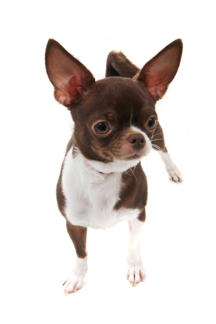 Brown Short Hair Chihuahua Isolated On The White Background In 2020 Chihuahua Puppies Cute Chihuahua Chihuahua