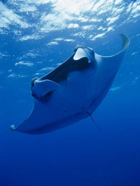 Manta Ray - I've had a beautifully encounter with some MR's on Bora Bora