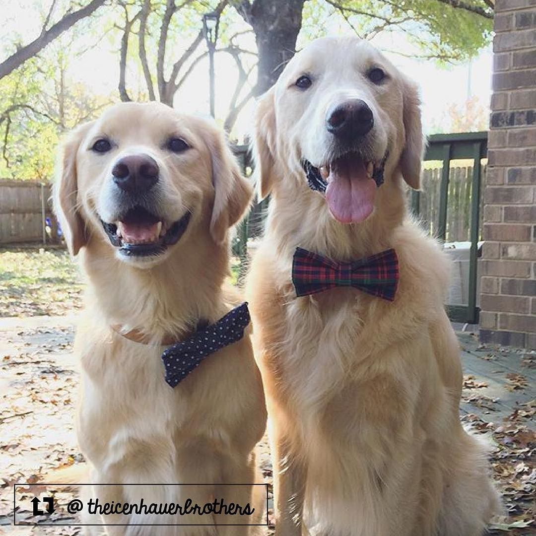 Augie And Tucker The Golden Retrievers From Austin Tx Golden