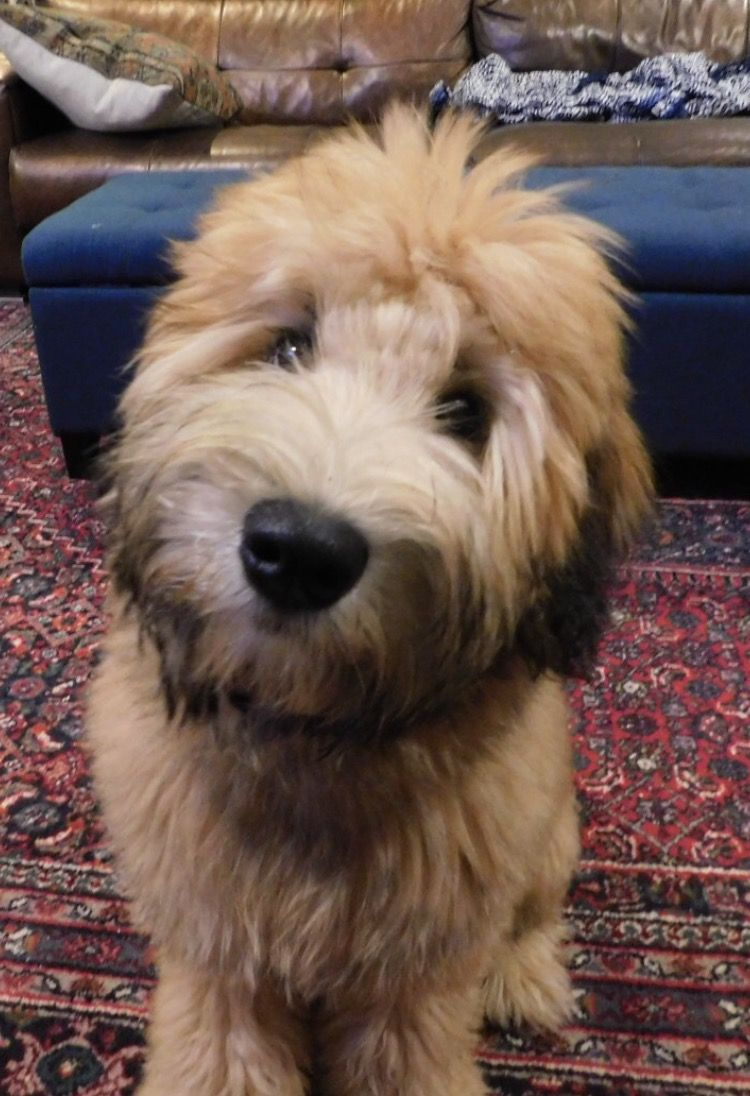 Frankie Grey Soft Coated Wheaten Terrier Wheaten Terrier Puppy Cute Dog Pictures Cute Dogs And Puppies
