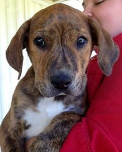 Adopt Brindi On Mountain Cur Dog Dog Best Friend Dog Adoption