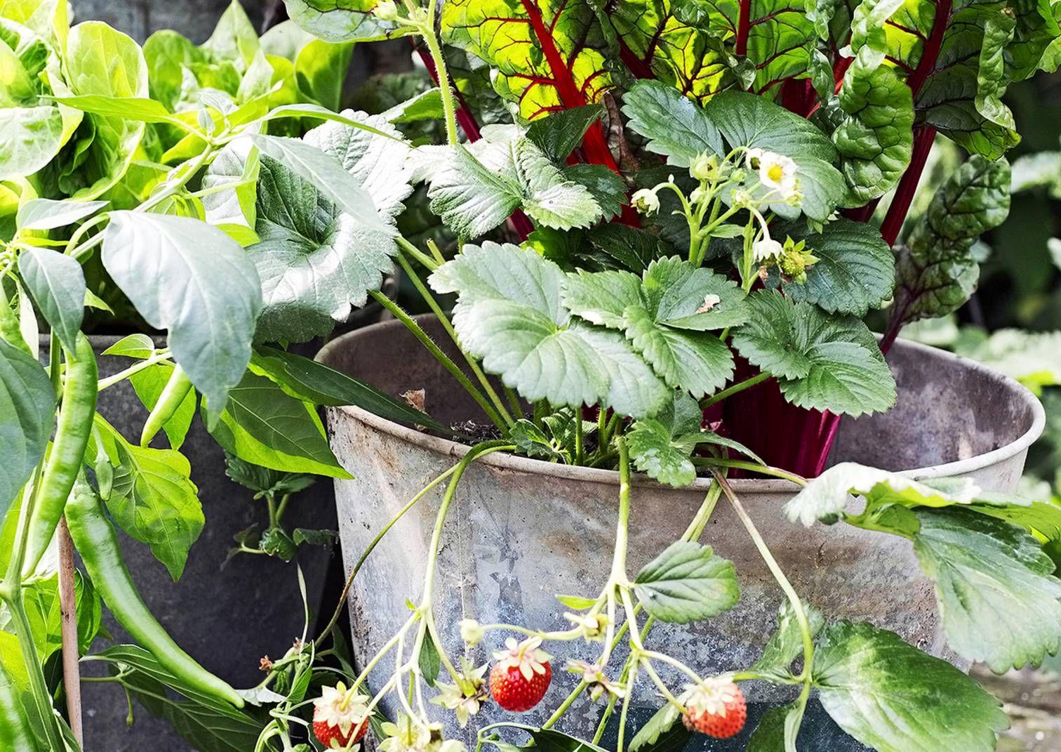 6 ideaa parvekeviljelyyn ruukuissa   Meillä kotona