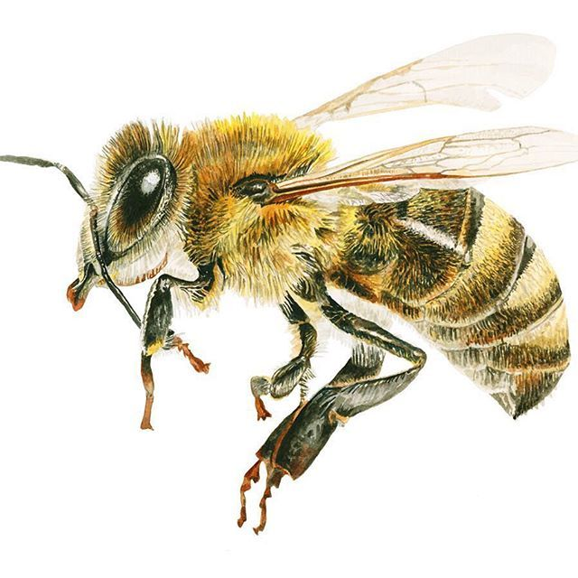 Learn How To Paint A Realistic Honey Bee In Watercolor In This Tip Video Https Www Youtube Com Watch V Qf Tatuaje Con Abejas Dibujo De Abeja Dibujo Realista