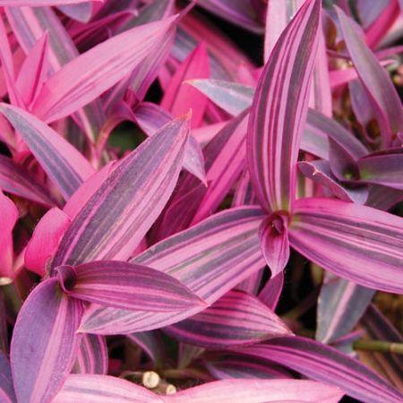 beautiful flowers setcreasea purple variegated easy house plantsindoor - Flowering House Plants Purple