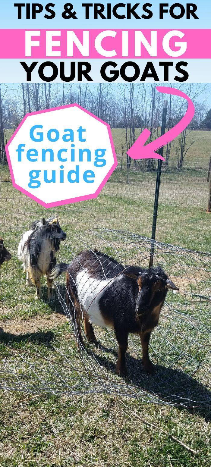 Nigerian Dwarf Goat Fencing Tips & Tricks in 2020 | Dwarf ...