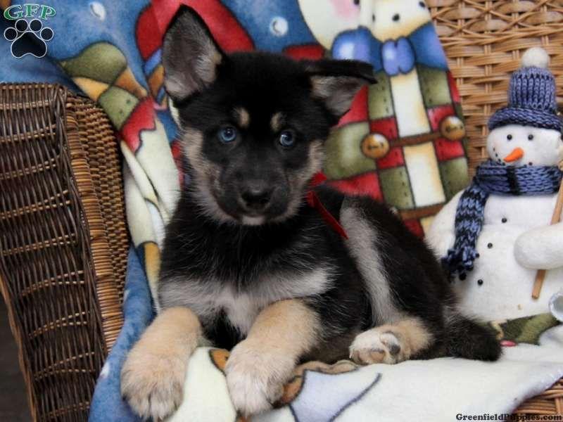 Australian Shepherd Siberian Husky Puppiesgallery Xyz Husky