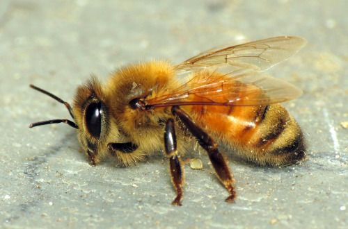 Adorably fuzzy honey bee that I found on my front porch in the wee hours one night last July. No idea why it was there. Looks like it was visiting my milkweed patch, based on the pollinia attached to that front leg. It was gone when I checked later that morning, so hopefully it made its way back to its hive.