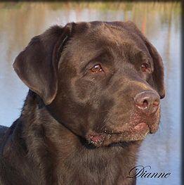 Pin By Stephanie Romanek On Just Labs Lab Dogs English Bulldog