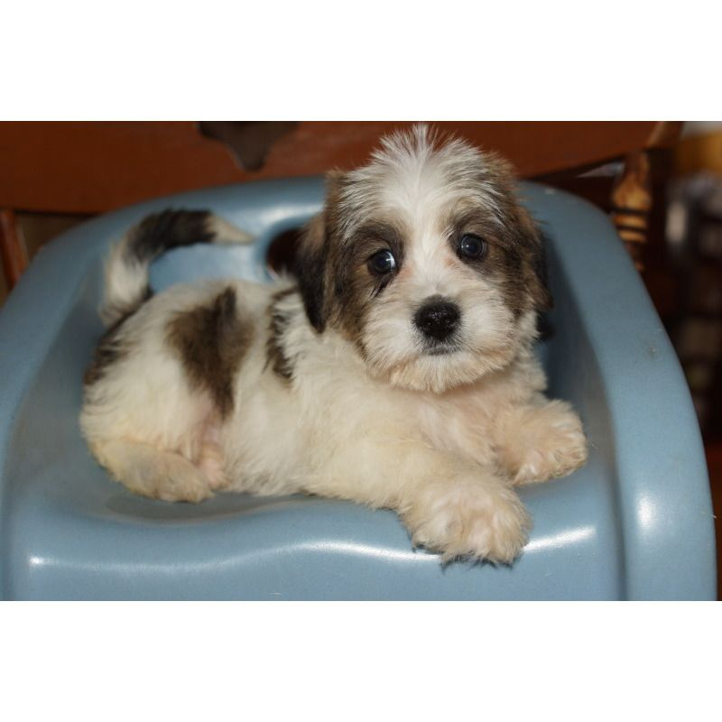 Schapso Puppies For Sale Bing Images Puppies Sweet Animals