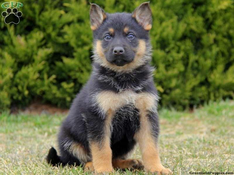 Luke German Shepherd Puppy For Sale From Honey Brook Pa