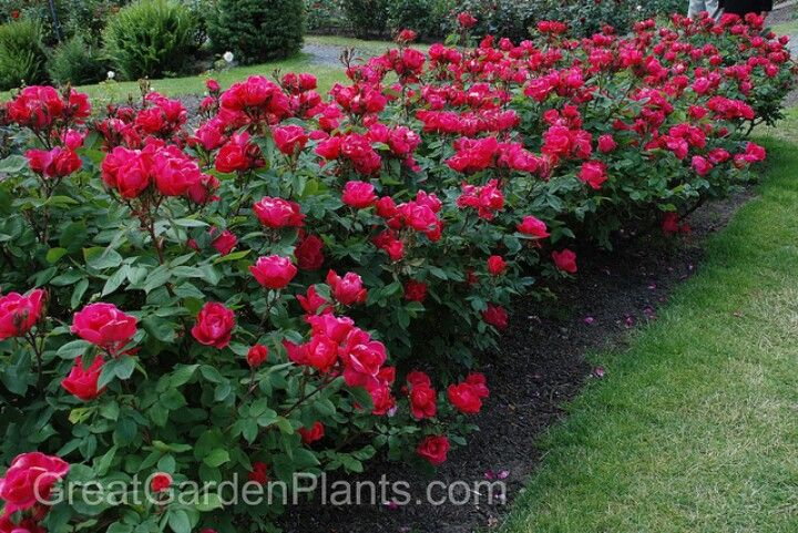 Knock Out Roses As A Low Growing Hedge