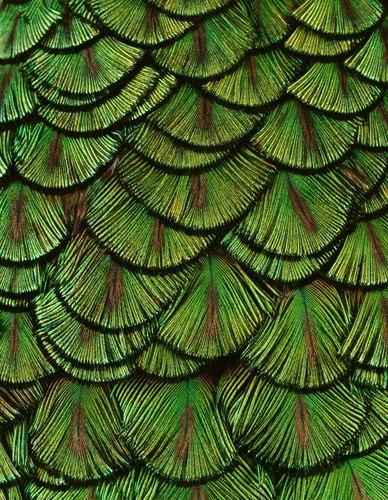 Peacock feathers - Coppi Barbieri