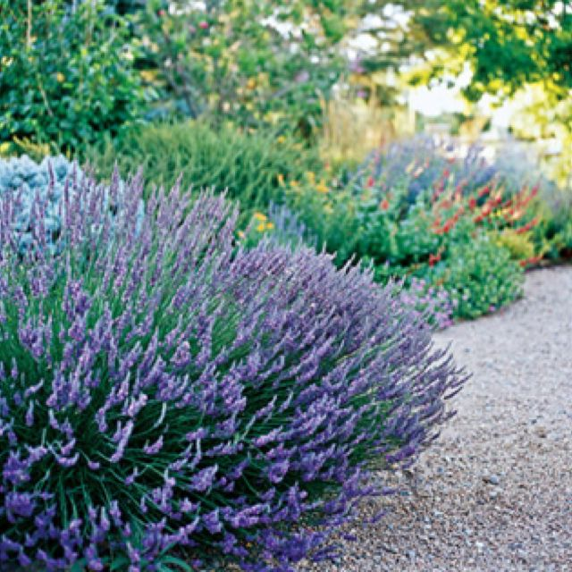 Lavender httpbhggardeningplant dictionaryherblavender enjoy the blue lavender purple or white flowers in summer bloom good for slope and erosion control attracts birds and is fragrant mightylinksfo