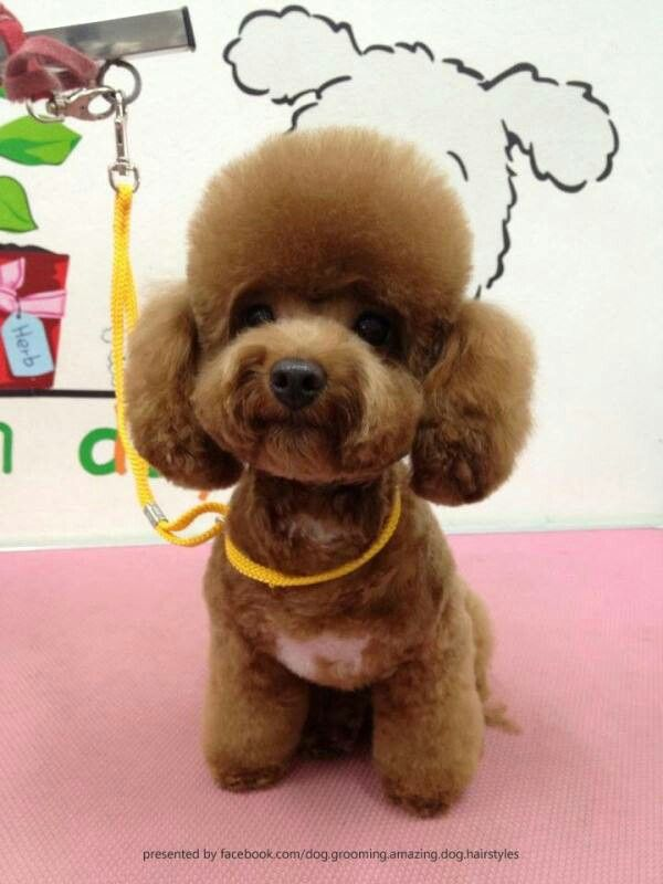 Asian Fusion Grooming Toy Poodle Haircut Dog Grooming Dog Haircuts