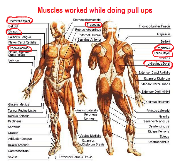 Muscle anatomy of muscles used in pull-ups | Fitness | Pinterest ...