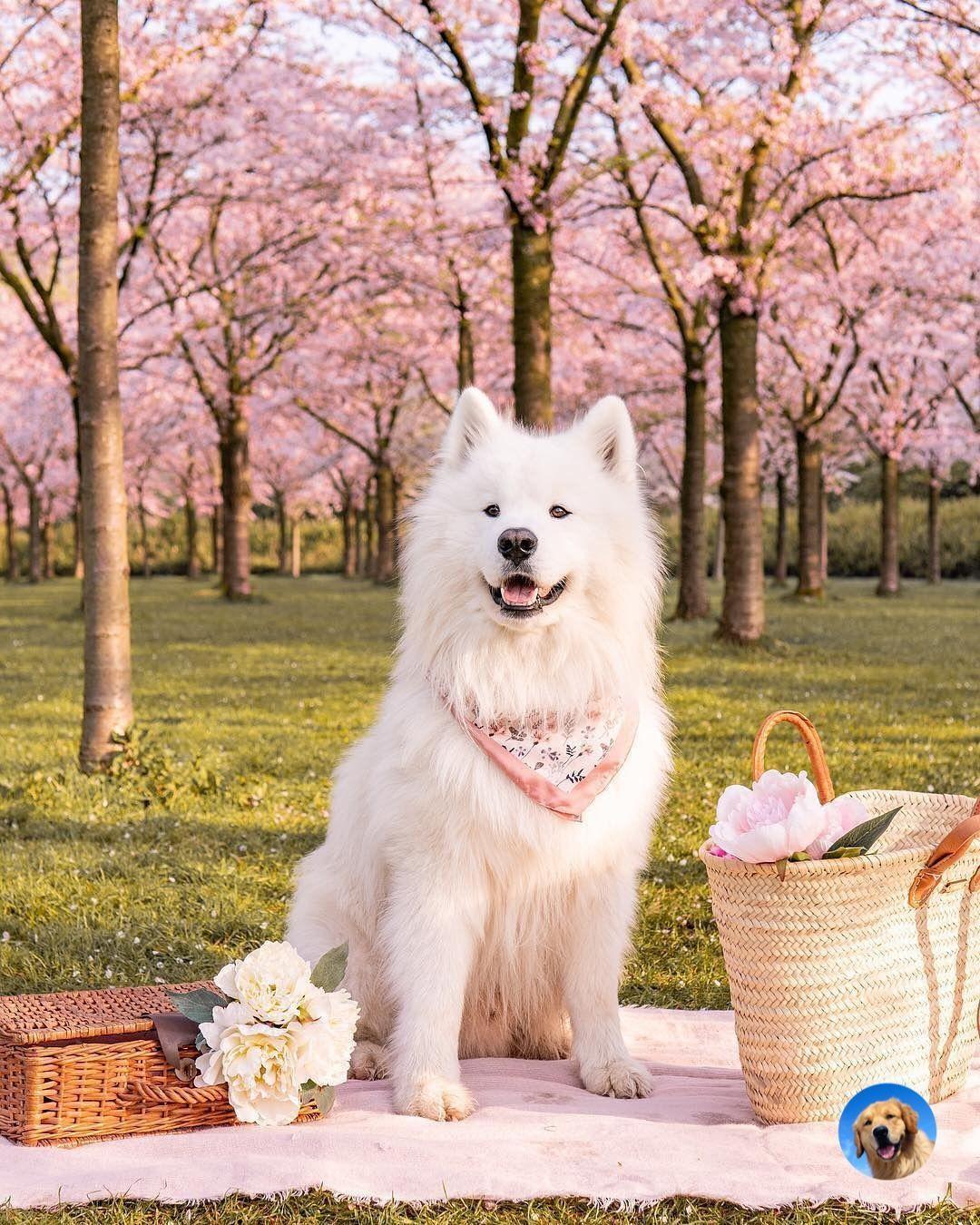 Samoyed Dog Samoyed Dogs Dogs Fluffy Dogs