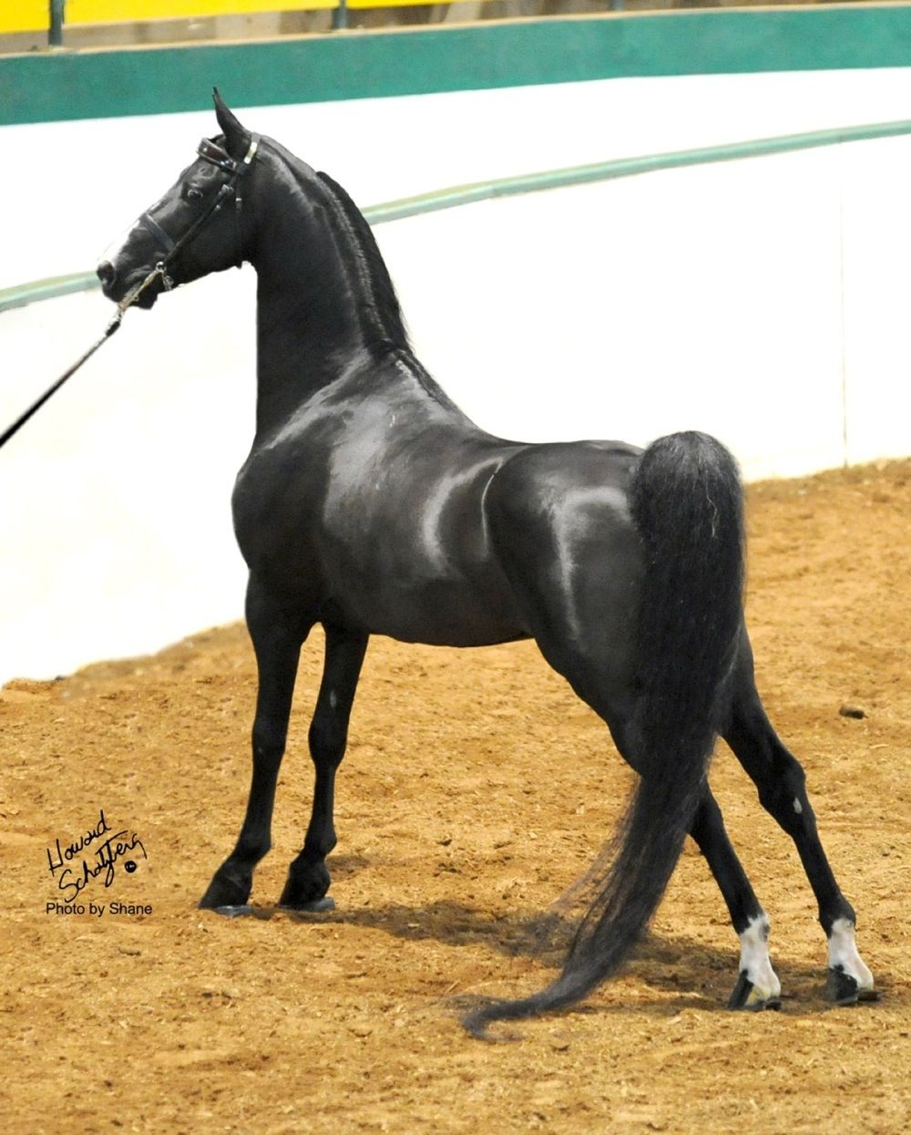 Black Morgan horse...my grandmother, mother and I raised Morgan horses. One day I'll have another