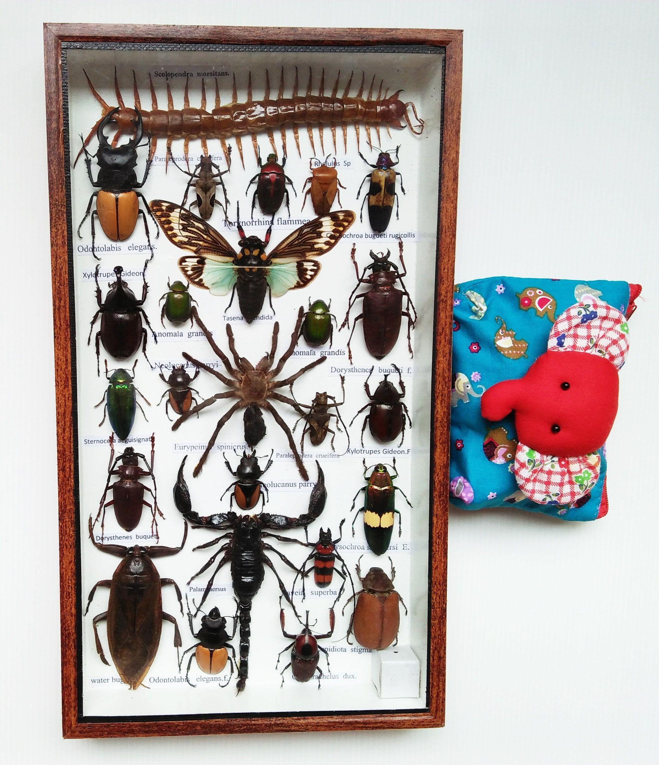 rare taxidermy real insect display insects box bug wood gift scorpion spider entomology collectible beetle set art frame framed eupatorous [ 2109 x 2448 Pixel ]