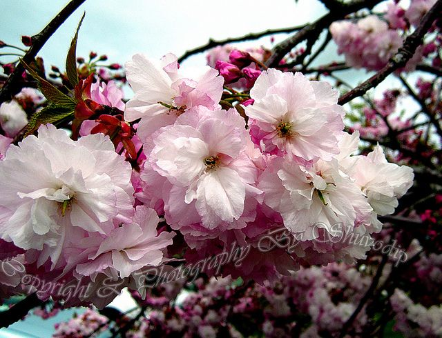 Close Up Of Kwanzan Ornamental Flowering Cherry Tree Flowering Cherry Tree Cherry Tree Flower Making