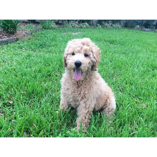 Puppies Just Make You Smile Goldendoodle Golden Retriever And