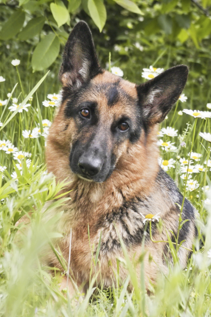 German Shepherd Dog Lies On A Glade In A Green Grass And Flowers In White Daisies Animal Outdoors Germanshepherd Koira