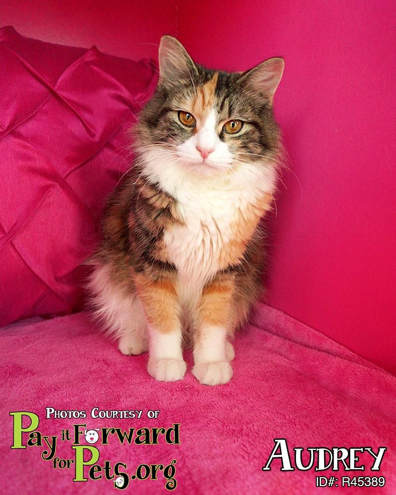 Audrey is an adoptable Maine Coon searching for a forever family near Akron, OH. Cat • Maine Coon Mix • Young • Female • Medium  Summit County Animal Control Department Akron, OH