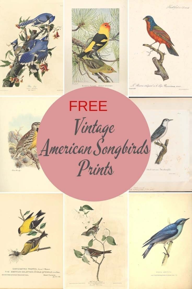 Beautiful Images Of American Songbirds To Download - Picture Box Blue