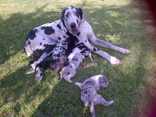 Ads Dogs And Puppies Great Dane Puppies Great Dane Puppy