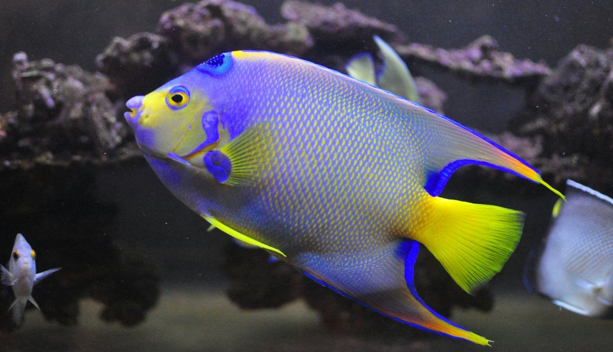 Would you put a QUEEN ANGEL in a reef? What are the ...