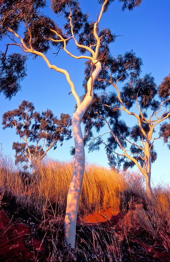 Ghost Gum Tree Paul Chantler Tree Photography Australian Trees Landscape Photography