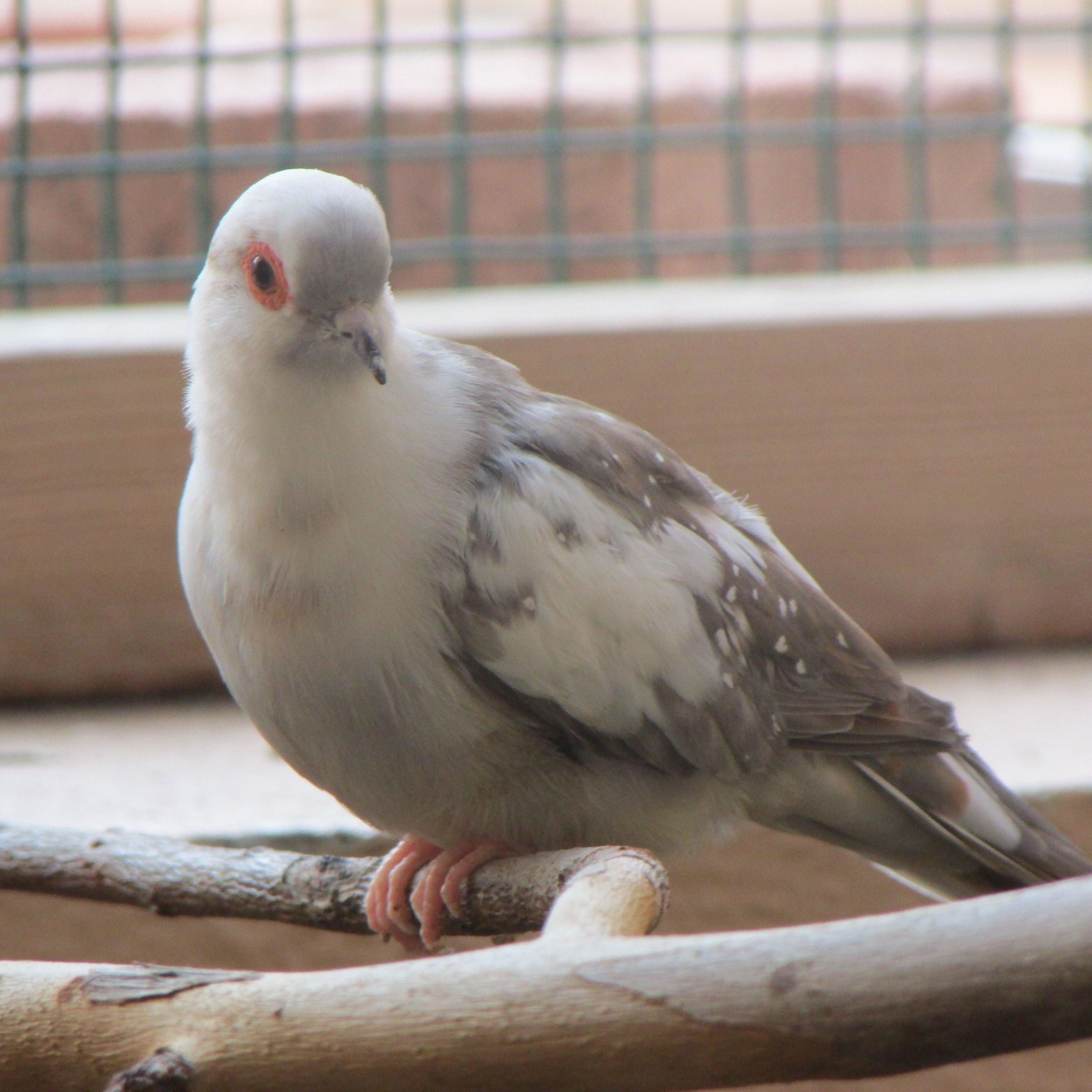 Piper Cinnamon Blue Pied Male Diamond Dove Luv Them Pinterest