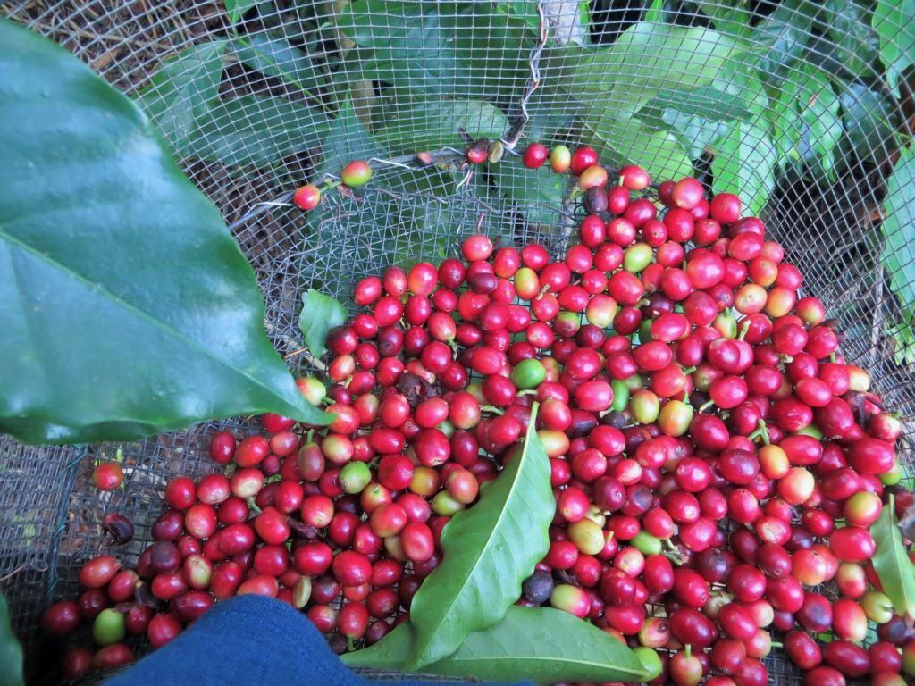 Kaffeeernte mit Workaway - Hoffentlich füllt sich der Korb schnell.http://rapunzel-will-raus.ch/mit-workaway-auf-hawaii/