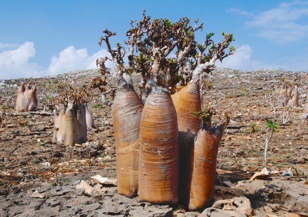 On Socotra island, Adenium socotranum
