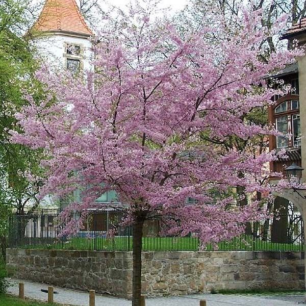 prunus subhirtella autumnalis prunus subhirtella autumnalis rosea winter flowering cherry. Black Bedroom Furniture Sets. Home Design Ideas