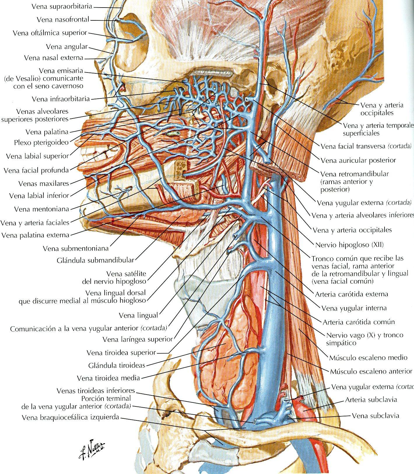 Atlas de anatomía humana. 5ª ed. http://kmelot.biblioteca.udc.es ...