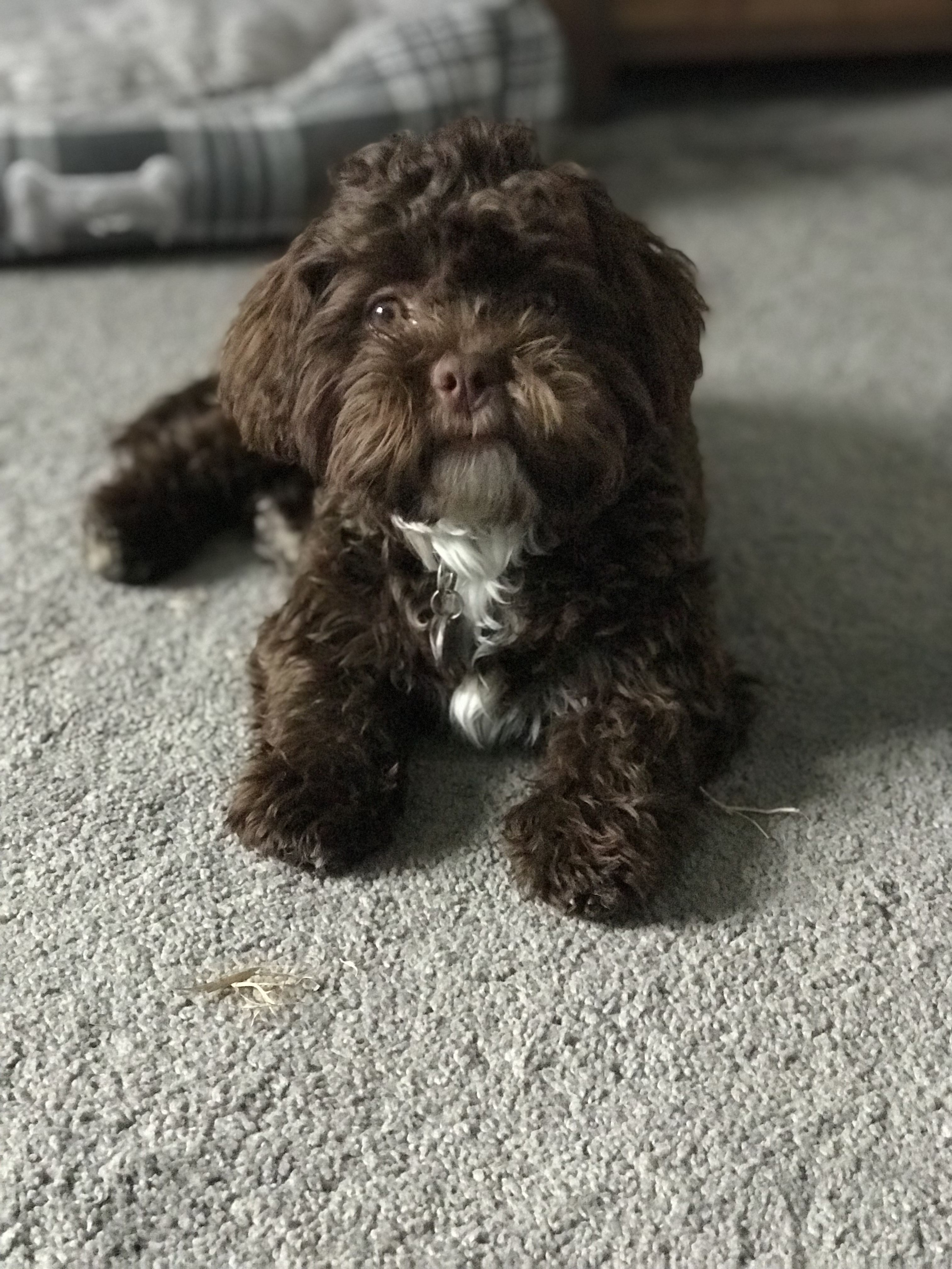 Beyonce The Chocolate Shihpoo Puppy Cute Little Dogs Shih Poo