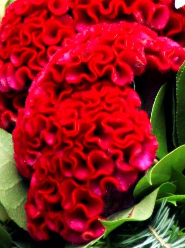 Red Velvet Celosia Red Velvet Celosia Garden Flower Beds Beautiful Flowers Flowers Nature